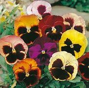Pansy Show Swiss Giant