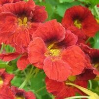 Nasturtium Dwarf Double Cherry Rose