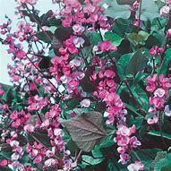 Bean Hyacinth Ruby Moon