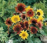 Sunflower Paquito