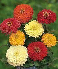 Zinnia Tetra Flowered