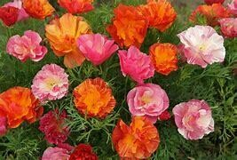 Poppy Californian Jelly Bean