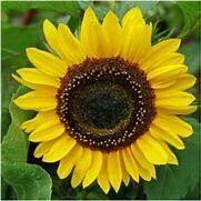 Sunflower Henri Wilde