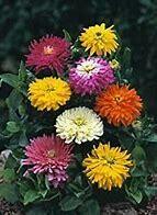 Zinnia Giant Cactus Flower Mix