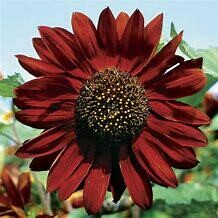 Sunflower Velvet Queen