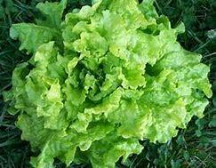 Lettuce Black Seeded Simpson Organic