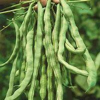 Bean Kentucky Wonder Organic
