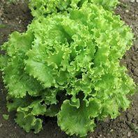 Lettuce Salad Bowl Organic