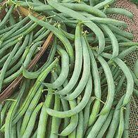 Bean Tendergreen Organic