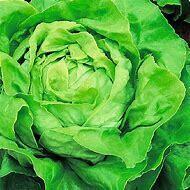 Lettuce Bibb Organic