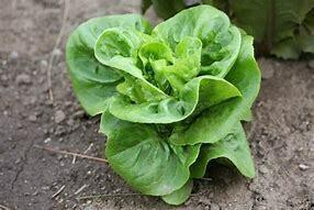 Lettuce Little Gem Cos