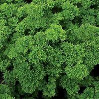 Parsley Evergreen