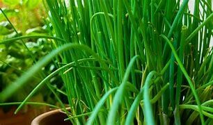 Chives Organic