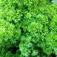 Parsley Moss Curled Organic