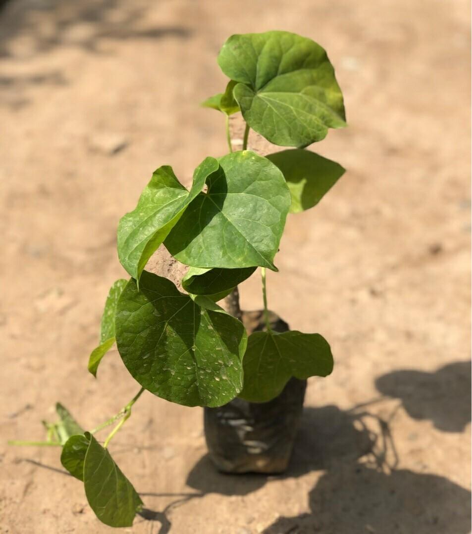Giloy Plant Sapling