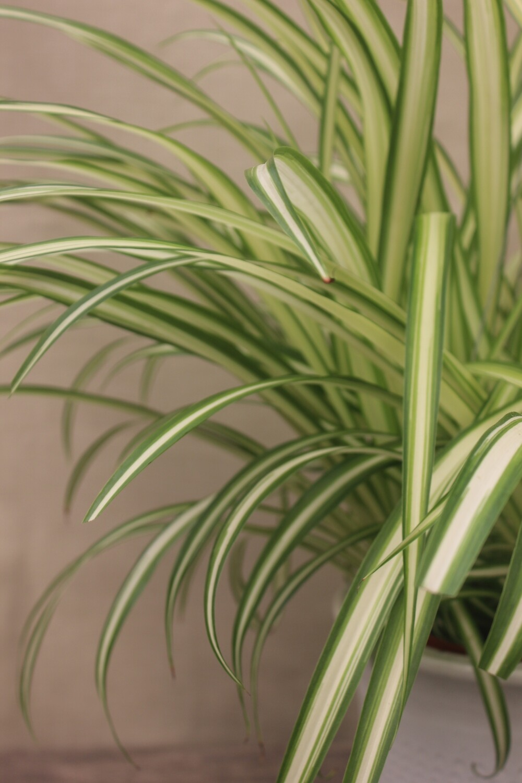 6 Chlorophytum Comosum Spider Plant Variegated