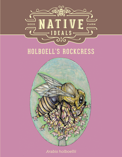 Holboell's Rockcress Native Wildflower Seeds $4.50