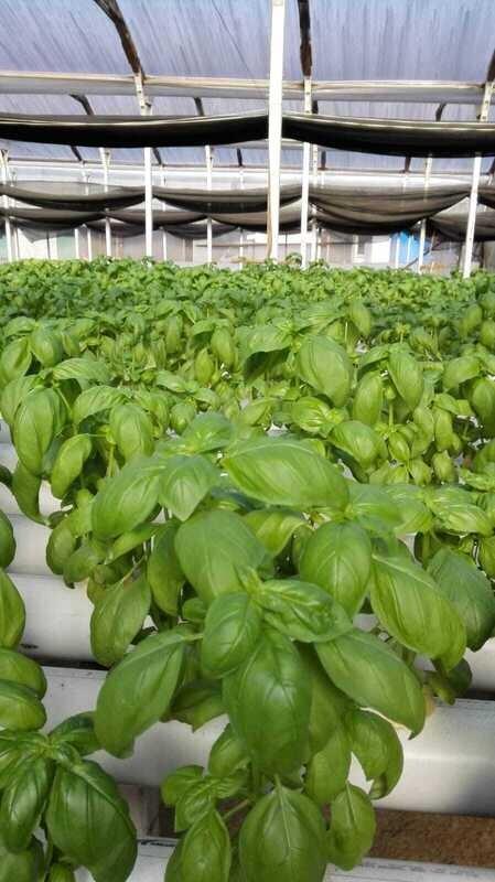Albahaca Verde  hidropónica 1 lb