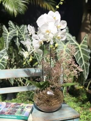 Orquídea Phalaenopsis No Aquário