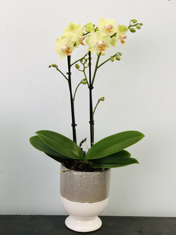 Mini-orquídea