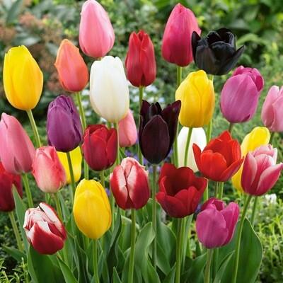 Tulip Bulb (Colours Vary)(Loose)