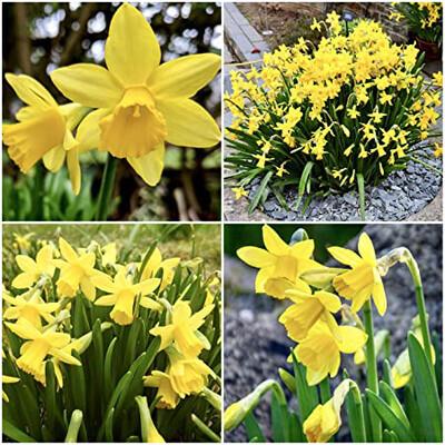 Dwarf Daffodil Bulb (Loose)