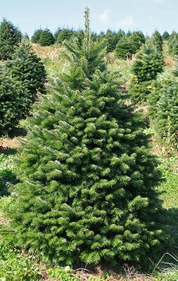 Christmas Tree - Nordmann Fir Up to 7Foot