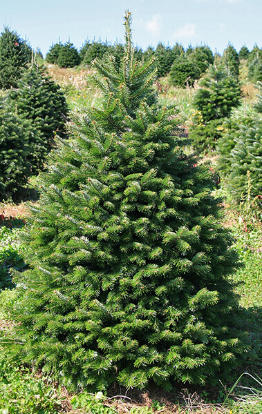 Christmas Tree - Nordmann Fir Up to 5Foot