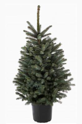 Blue Spruce 7.5L (100-125cm)