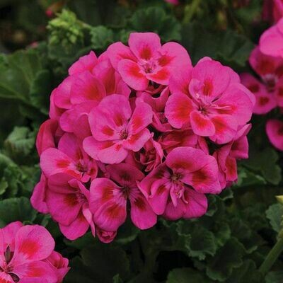 Geranium 1L (Cutting Raised)