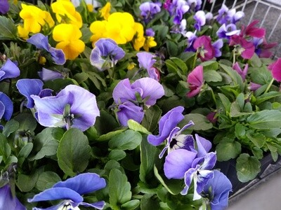 Assorted Pack Bedding Plants (Set of 4)
