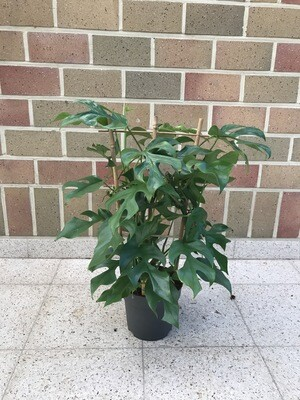 Philododendron Minima