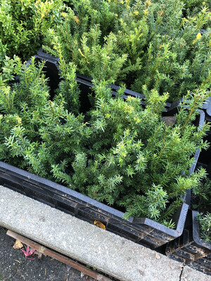 TAXUS BACCATA (if ) pot 9cm