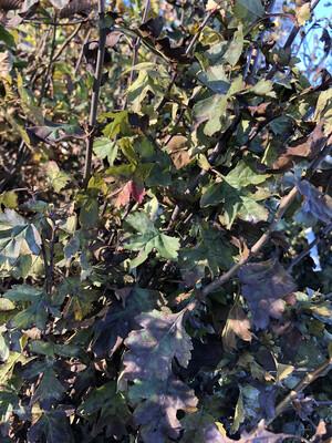 CRATAEGUS MONOGYNA (aubepine)  125/+ (10) r/nue blote wortel