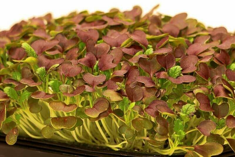 Red Garnet Mustard Microgreens