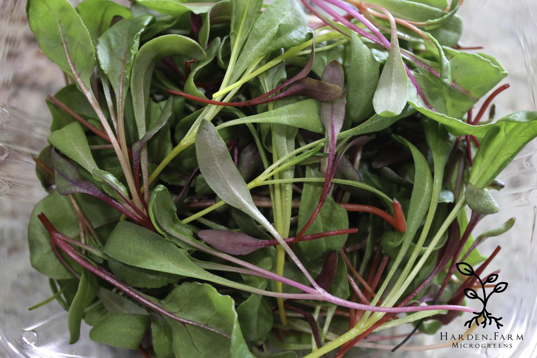 Rainbow Mix Microgreens | Beet and Chard