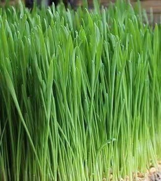Monthly Wheatgrass Microgreens Club (Free Ship $35+)