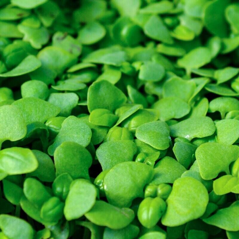 Genovese Sweet Basil Microgreens