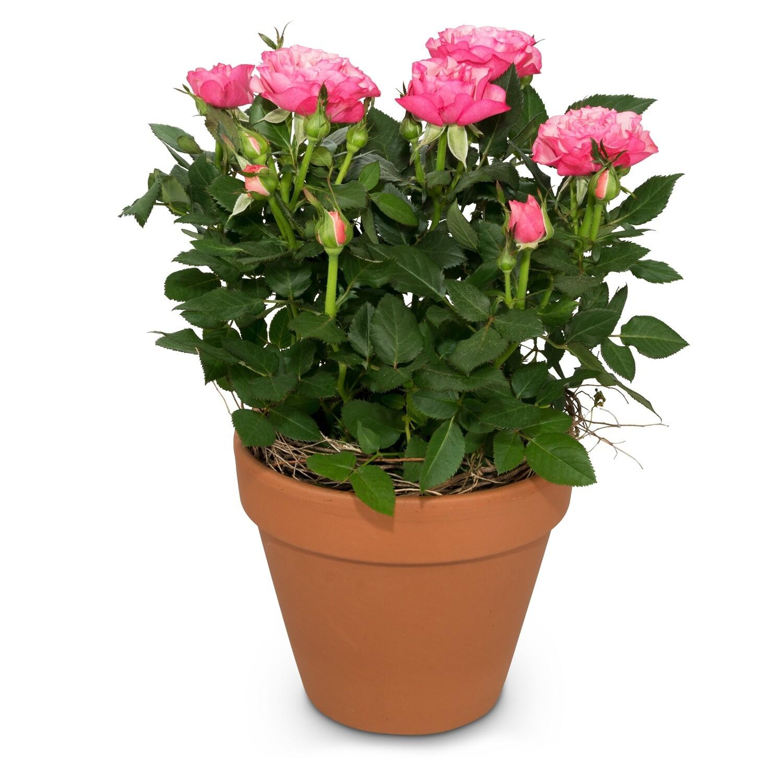 Rosenpflanze in Tontopf