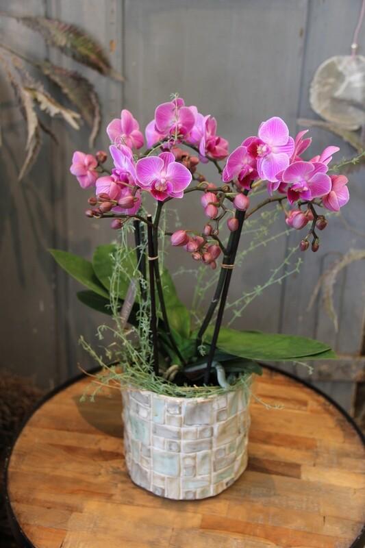 Orchidee rosaton in Cachepot