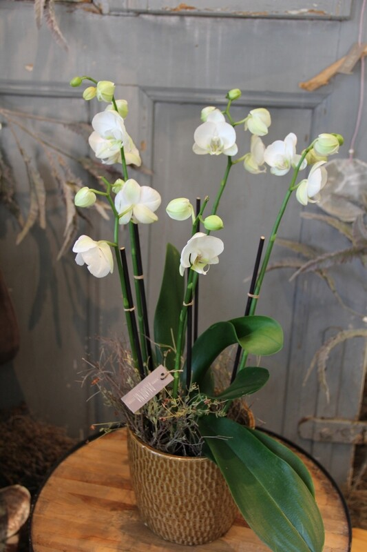 Orchidee weiss in Cachepot