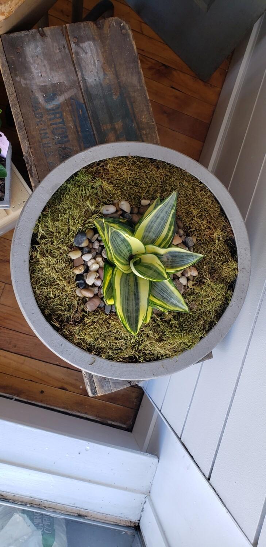 Rosette Snake Plant In Concrete Bowl