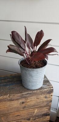 Cordyline Plant In Tin Bucket