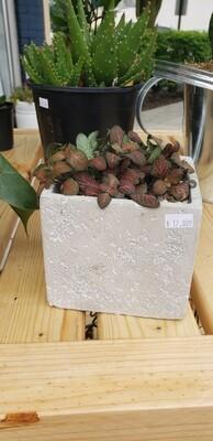 Fittonia in Concrete Square Container