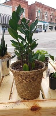 ZZ plant in Roll top Basket