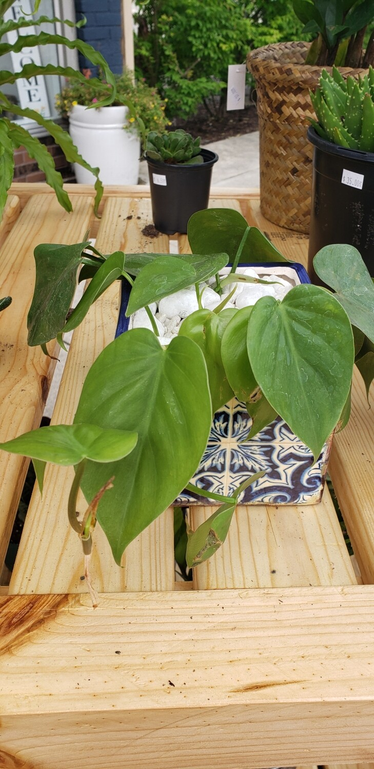 Philodendron in Lisbon Tile cube