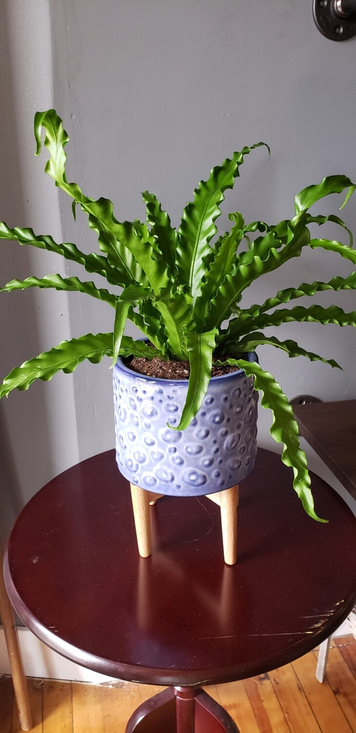 Birds Nest Fern in Blue Bubble Container on Stand