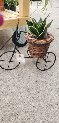 Rosette snake plant in bicycle