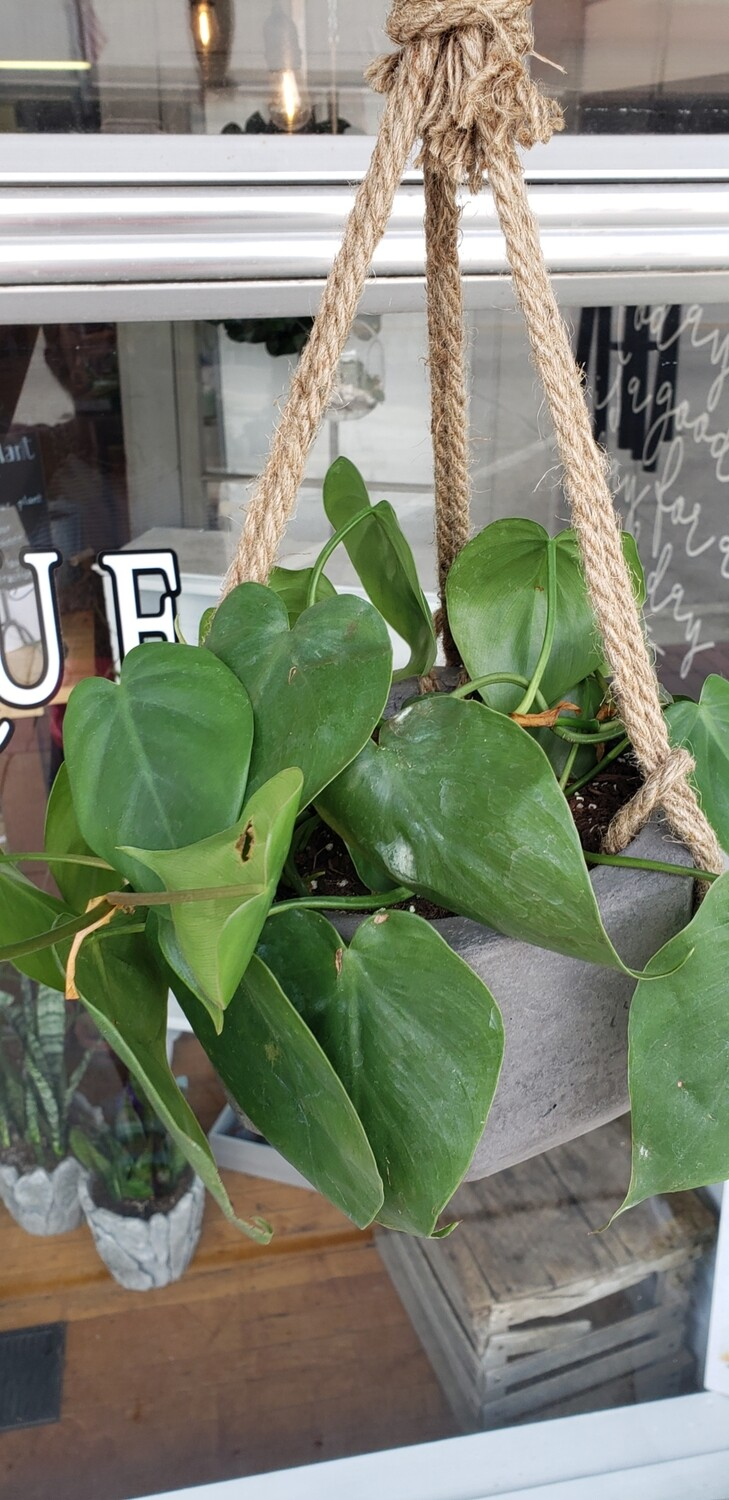 Concrete hanging pot with Philodendron
