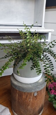 Button Fern in Large pot